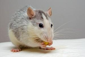 Rat Traders